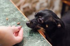 En liten slät-haired terrier för hundavelleksak äter en läckerhet från handen av hans husmor royaltyfria bilder