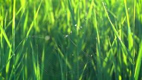 En liten spindel v?ver en reng?ringsduk p? en gr?n vass i str?larna av inst?llningssolen stock video