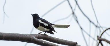 En liten svart fågel ligger på en filial arkivfoto