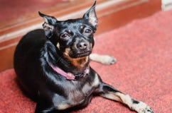 En liten svart slät-haired hund vilar på en röd matta arkivfoton