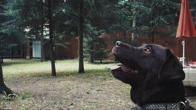 En liten ung svart hund stock video
