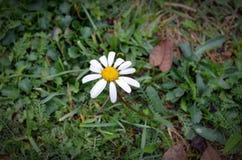 En liten vit blomma kallade tusenskönan royaltyfria bilder