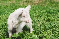 En liten vit horned goatling går över en grön sommaräng arkivfoto