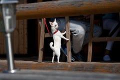 En liten vit hund står på hans bakre ben på stol av värden på det utomhus- kafét Royaltyfri Fotografi
