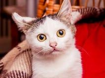 En liten vit kattunge med stora ögon värmes under en pläd av hi royaltyfri bild
