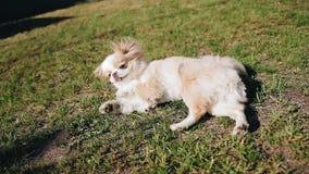 En liten vovve ligger på gräset och de konstiga kvickrotarna roligt husdjur Kanske reagerar hunden till väderändringarna stock video