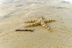 En Live Small Starfish Arkivbild