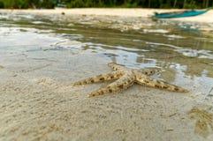 En Live Small Starfish Royaltyfri Bild