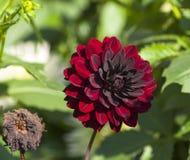 En ljus burgundy dahlia bredvid en torkad blomma Arkivbild
