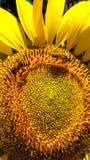 En ljus härlig solros med italienska honungsbin som samlar pollen för deras bikupa Royaltyfri Foto