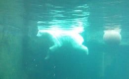 En ljus isbjörn simmar framme av en boll som är undervattens- i ett turkosvatten fotografering för bildbyråer