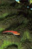 En ljus röd gobi fisk som vilar på en texturous grön korall Arkivfoto