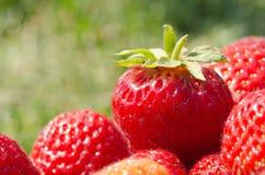 En ljus radda, är nya bär av en jordgubbe Arkivfoton