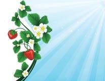 En ljus radda, är nya bär av en jordgubbe Royaltyfri Bild