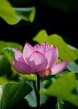 En ljus rosa lotusblommablomma Royaltyfri Bild