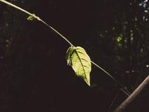 En ljusnar det gröna bladet arkivfoton