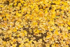 En ljust kulör matta av gula lönnlöv i hösten royaltyfria foton