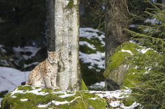 En lodjur i den bohemiska skogen Royaltyfri Fotografi
