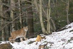 En lodjur i den bohemiska skogen Arkivfoto