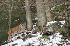 En lodjur i den bohemiska skogen Arkivbild