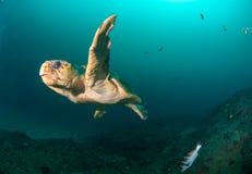 En loggerheadsköldpadda i klart vatten Royaltyfria Foton