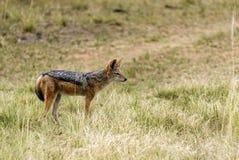 Svart-dragen tillbaka jackal Fotografering för Bildbyråer