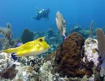 En LonghornCowfish kryssar omkring reven i Papua Nya Guinea royaltyfria bilder