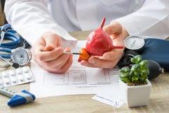 En los doctores el médico de la cita muestra a la forma paciente de la glándula de próstata con el foco a mano con el órgano Paci fotos de archivo libres de regalías