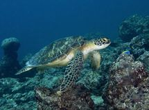 En los Maldivas, las correas eslabonadas subacuáticas, los pescados coloridos y las tortugas bailan con armonía Fotografía de archivo libre de regalías