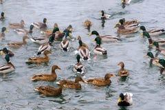 En los patos de lago ataque el pan Fotografía de archivo
