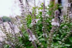 En los tallos de flor de la albahaca Fotografía de archivo libre de regalías