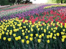 en los tulipanes del flor del parque de la ciudad foto de archivo