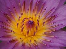 en lotusblomma Fotografering för Bildbyråer