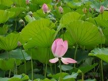 En lotusblomma och sidor i dammet royaltyfri fotografi