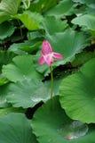En lotusblommablomma med många regndroppar, när det skulle rainning royaltyfri bild