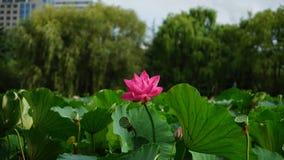 En lotusblommablomma samman med många slår ut att växa in mot himmel i dammet Royaltyfria Foton