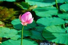 En lotusblommaknopp Arkivfoto
