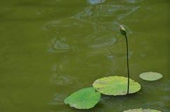 En lotusblommaknopp Arkivfoton