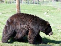 En lufsa brunbjörn arkivbild