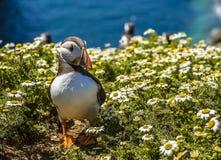 En lunnefågel strosar till och med tusenskönorna på den Skomer ön, Wales Royaltyfri Fotografi