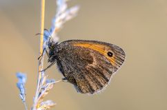 En lurvig fjäril med bruna vingar Royaltyfria Bilder