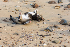 En lycklig älsklings- katt som spelar på en sandig strand Arkivbild