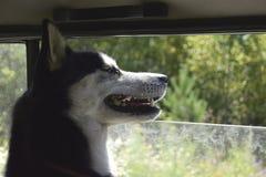 En lycklig hund i bilen royaltyfri bild