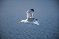 En lycklig seagull Royaltyfria Foton