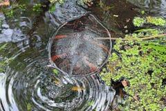 En målad sköldpadda i vattnet Arkivbild