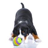 En-månad valp Appenzeller Sennenhund med leksaken som isoleras på whit Royaltyfri Bild
