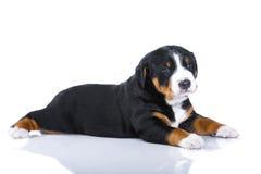 En-månad valp Sennenhund som isoleras på vit Royaltyfria Bilder