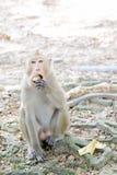 En macacaapa som äter bananen på jordning arkivbild
