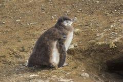 En Magellan behandla som ett barn pingvinet i Santa Magdalena Island, Patagonia, Chile Arkivfoton
