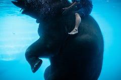 En mahout som rider simningen, behandla som ett barn elefanten royaltyfri fotografi